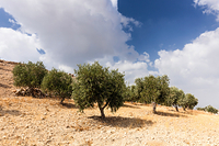 ヨルダン イルビド オリーブ畑