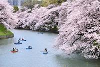 東京都 千鳥ヶ淵の桜とボート