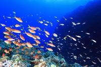久米島 海 アカネハナゴイ群れ