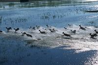 ボツワナ オカバンゴ湿地帯 リーチュエの群れ