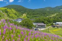 長野県 ヤナギラン咲く志賀高原 熊の湯付近
