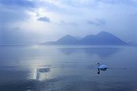 北海道 朝の洞爺湖とハクチョウ
