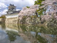 富山県 富山城と桜