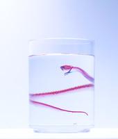 マムシ(ニホンマムシ) Agkistrodon blomhoffii