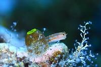 カエルウオの仲間 コミカルブレニー