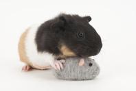 ネズミのおもちゃで遊ぶモルモット