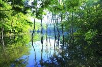 青森県 白神山地 長池と新緑