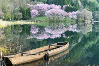 長野県 中綱湖の桜