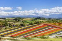 北海道 四季彩の丘の花畑