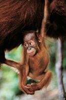 オタウータンの赤ちゃんボルネオオランウータン