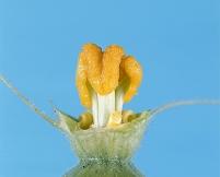 カボチャ 花が咲いたときのめしべ 9月