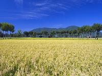 新潟県 米どころ越後平野と夏井のはさ木と弥彦山