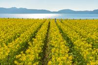 鹿児島県 菜の花咲く池田湖の湖畔