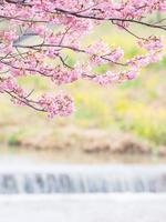 千葉県 頼朝桜