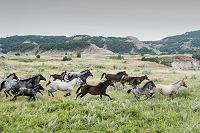 アメリカ ノースダコタ セオドア・ルーズベルト国立公園 馬