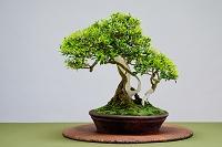 盆栽 皐月 大盃