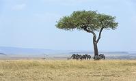 ケニア  シマウマ