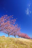 静岡県 伊豆の国市 狩野川堤防の河津桜の桜並木
