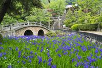 岡山県 カキツバタ着く数原神社