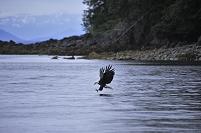 アメリカ アラスカ アイシーストレート ハクトウワシ