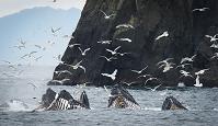 カモメの群れとザトウクジラ