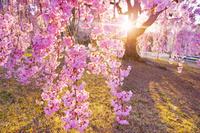 長野県 上田市 前山寺の榮尚しだれ桜と夕日の木漏れ日