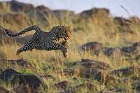 走り飛ぶヒョウ