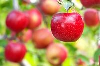 青森県 弘前市 リンゴ
