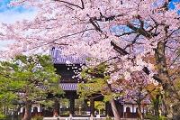 京都府 桜の建仁寺の三門