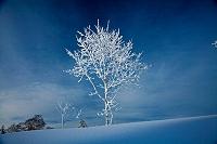 北海道 東川町 大雪山 白樺の若木についた霧氷