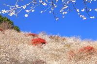 愛知県 豊田市 四季桜