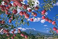 青森県 リンゴと岩木山