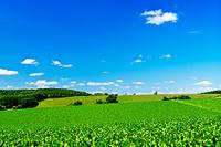 北海道 ビート畑の丘