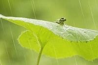 梅雨 フキの葉にアマガエル