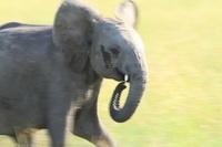 ケニヤ アンボセリ国立保護区 走る子ゾウ