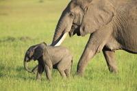 ケニヤ アンボセリ国立保護区 親子ゾウのキス