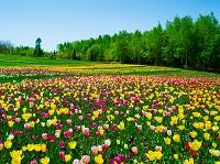 北海道 チューリップの花畑