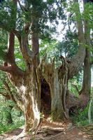 富山県 剣岳早月尾根杉の古木