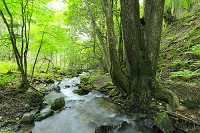 長野県 わさび沢 新緑の原生林と清流