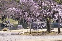 東京都 小石川後楽園 しだれ桜