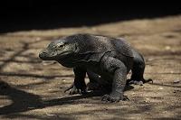 インドネシア コモド諸島 コモドドラゴン(コモドオオトカゲ)