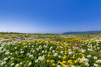 海岸のお花畑と青空