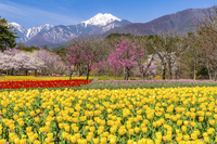 長野県 国営アルプスあづみの公園チューリップと常念岳