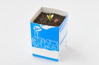 ツルレイシ 牛乳パックを利用した育苗の様子 1/7 芽生え