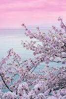 滋賀県 西浅井町 桜と琵琶湖