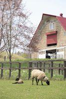 草原の羊達