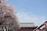 東京都 桜と浅草寺