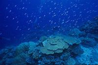 インド洋 オーストラリア クリスマス島 サンゴ礁に群れるハナ...