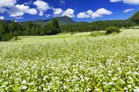 長野県 そば畑