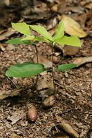 林の下のコナラの若木